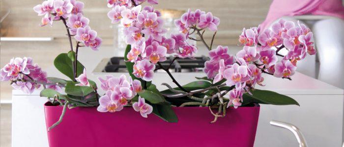 Šta predstavlja boja Orhideje?